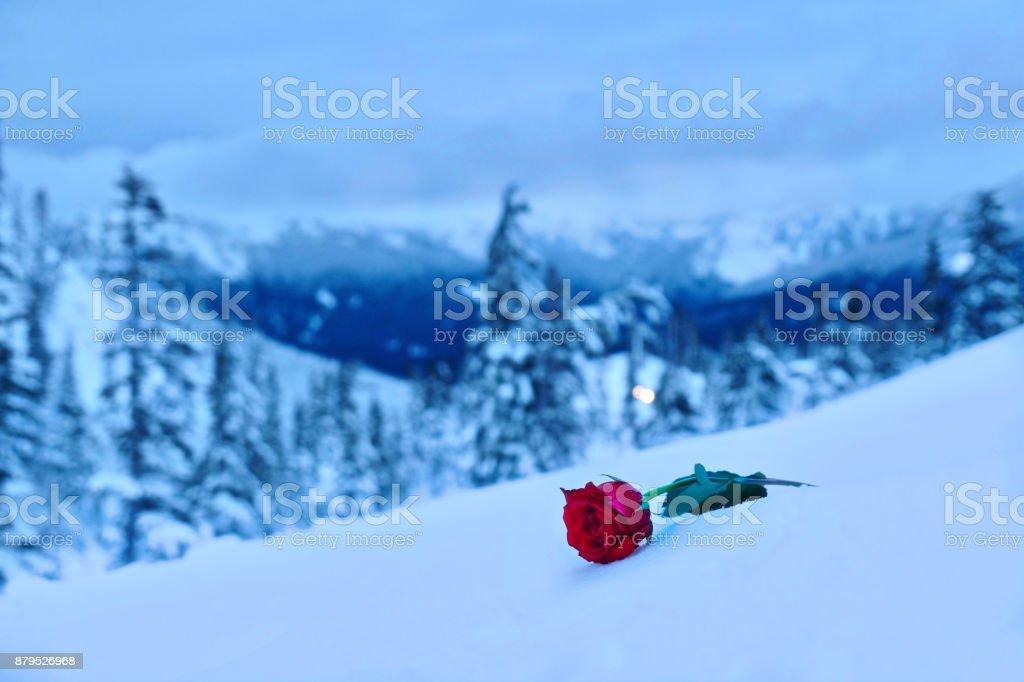Rote Rose im Schnee. In Erinnerung an den Geliebten. – Foto