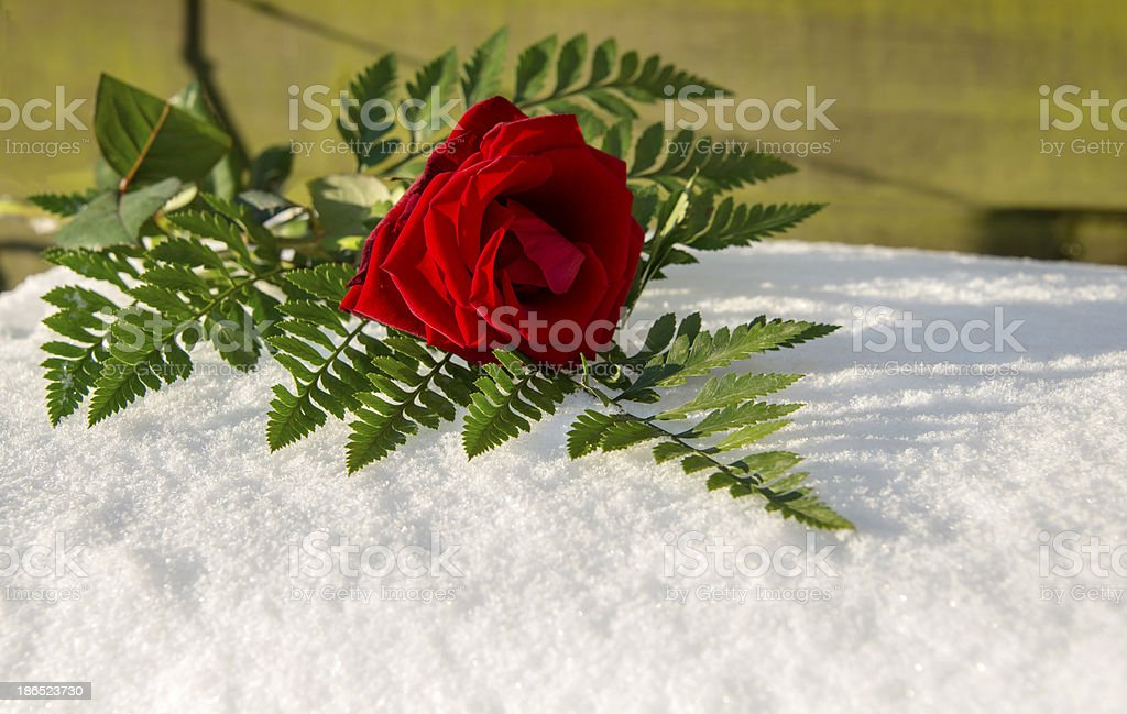 red rose in snow royalty-free stock photo