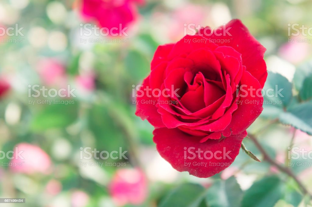 red rose in the park , on blur background ,colorful style foto stock royalty-free