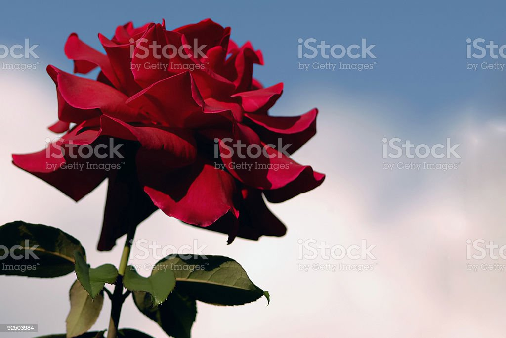 Red rose in the sky royalty-free stock photo