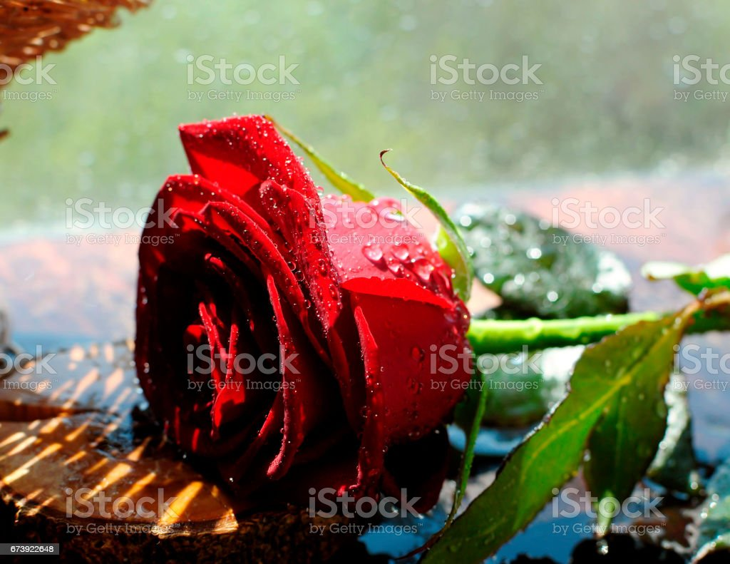 Red rose in the spray of water photo libre de droits