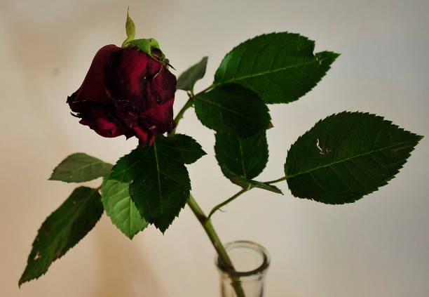 Red rose in vase stock photo