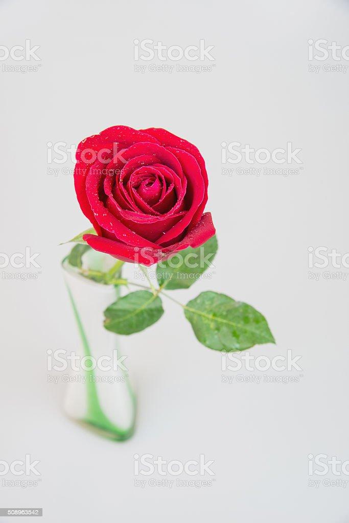 red rose in vase white black ground stock photo