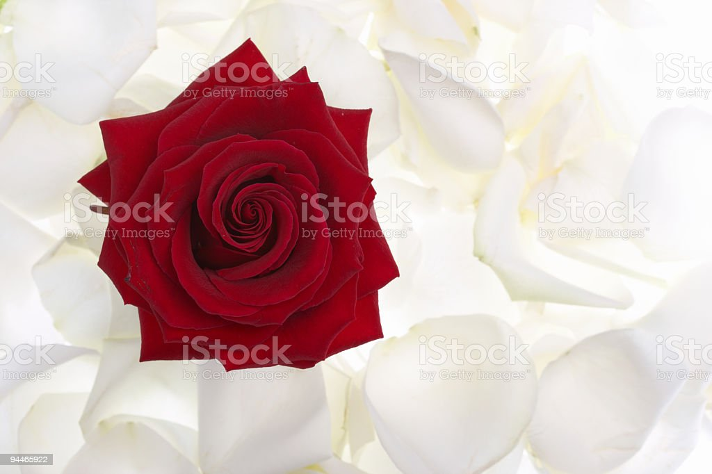red rose in white roses petals royalty-free stock photo
