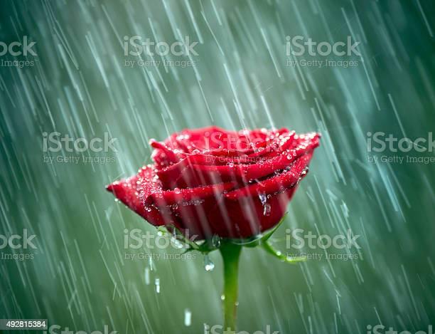 Red rose into the rain shallow dof picture id492815384?b=1&k=6&m=492815384&s=612x612&h= otozrtlnopt5etqopx e8zv2kayitj9pxtzunbj3ju=