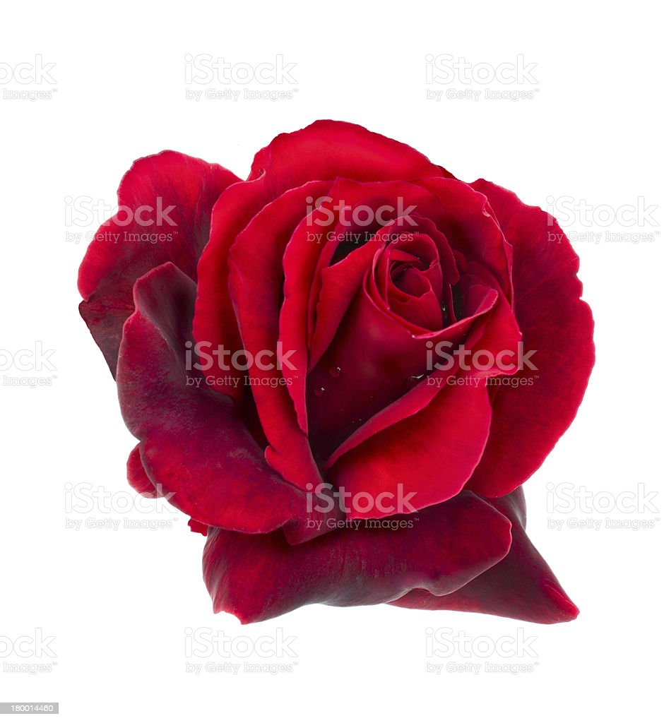 Red rose is with drops of dew royalty-free stock photo