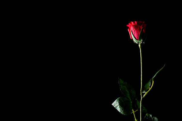 Red rose isolated on a black background picture id1124398760?b=1&k=6&m=1124398760&s=612x612&w=0&h=bwl7edwckc nrs67cjqrpjow9rtf7kxgufquk5wha 0=