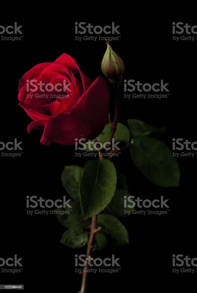 Red rose isolated on a black background stock photo