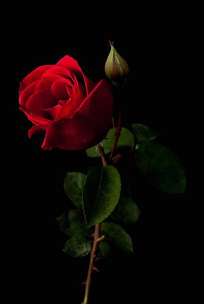 red rose isolated on a black background - enkele roos stockfoto's en -beelden