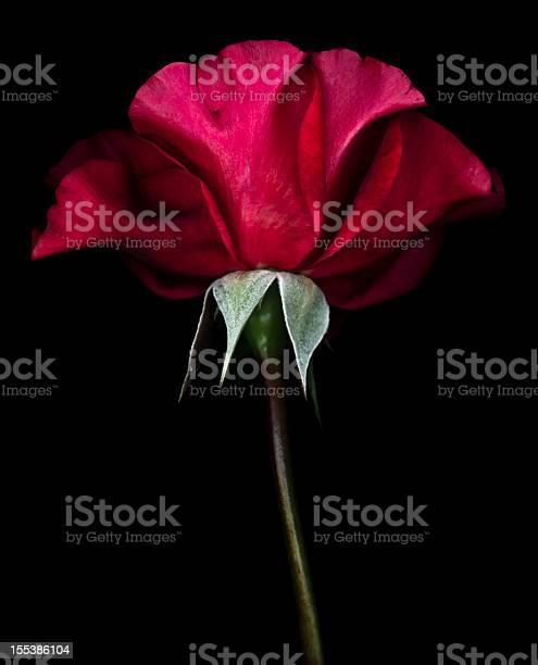 Red rose isolated on black picture id155386104?b=1&k=6&m=155386104&s=612x612&h=ubhbartu2kk5201glm4mwyq87 l8xoiuyqh4i8mcqak=