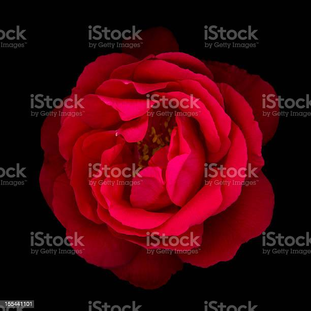 Red rose isolated on black picture id155441101?b=1&k=6&m=155441101&s=612x612&h=ils8kvdz2gr8scintrev1h 9lzctgmdmrym6vaabcsy=