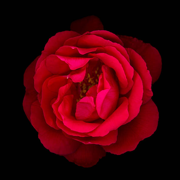 Red rose isolated on black picture id155441101?b=1&k=6&m=155441101&s=612x612&w=0&h=0ovrwbxpyh5xrw mas ad dc 6 dywgkc2otiuslqem=