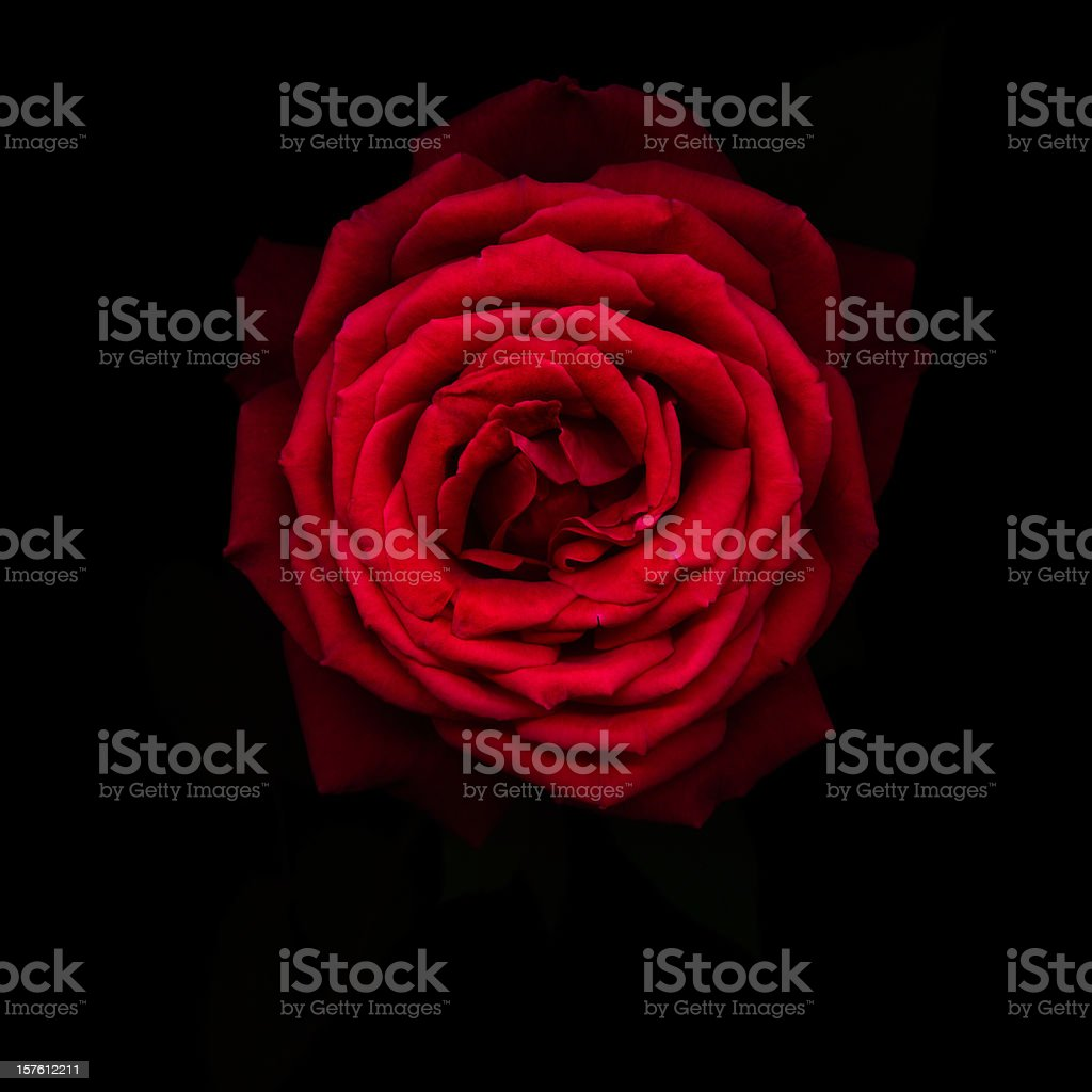 Red rose isolated on black stock photo