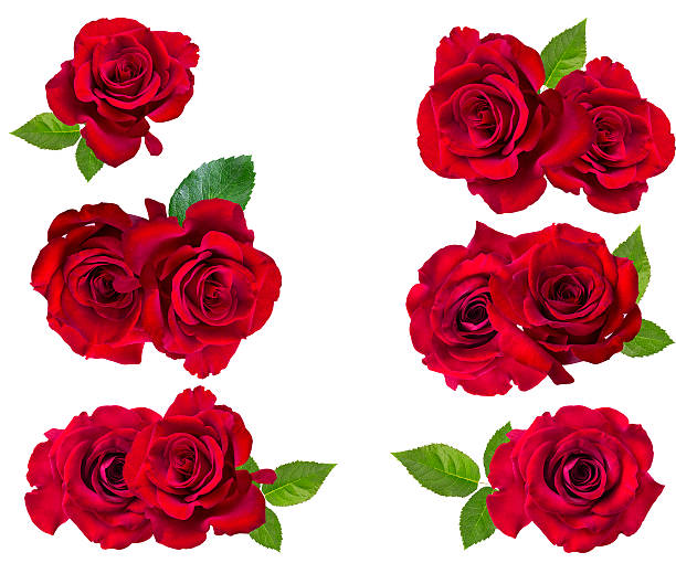 Red rose isolated on the white picture id587207948?b=1&k=6&m=587207948&s=612x612&w=0&h=s5xc6ccphcv9thjy0x qvicvu6hqsdiwcdn0zdshb8u=