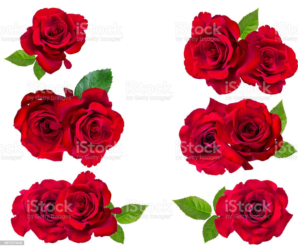 Red rose isolated on the white stock photo