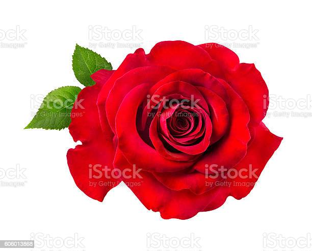 Red rose isolated on the white picture id606013868?b=1&k=6&m=606013868&s=612x612&h=2xfriwk8h1ely2usbwiqbopzd01pfw80xnwamp ddbe=
