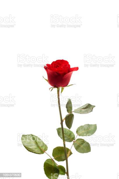 Red rose isolated on white background picture id1054370530?b=1&k=6&m=1054370530&s=612x612&h=442f8cajmmlj42vcziygqaycisc9olcpu9 xtqphbt8=
