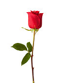 Close-up Bud of red Rose isolated on white Background