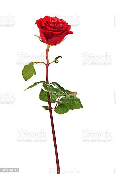 Red rose isolated on white background picture id465344747?b=1&k=6&m=465344747&s=612x612&h=jvjh5voots3dhuwqekislu2k1zjdi0ho9txj5u6hsa0=