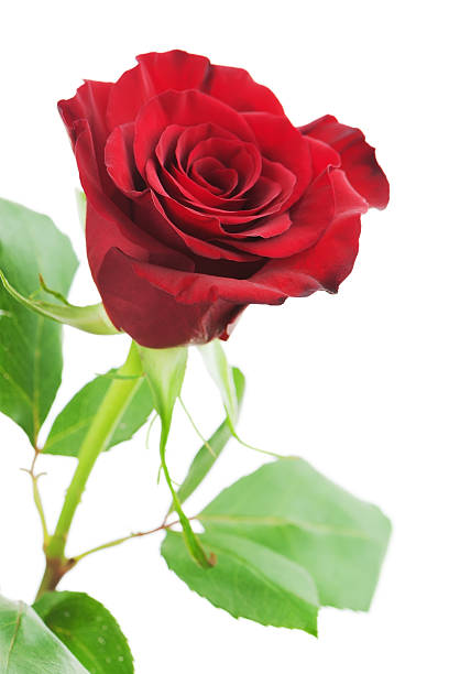 Red rose isolated on white background picture id467476247?b=1&k=6&m=467476247&s=612x612&w=0&h=tzag4pn7cigfvn q80ew02ifadvircwy5t pj9590ju=