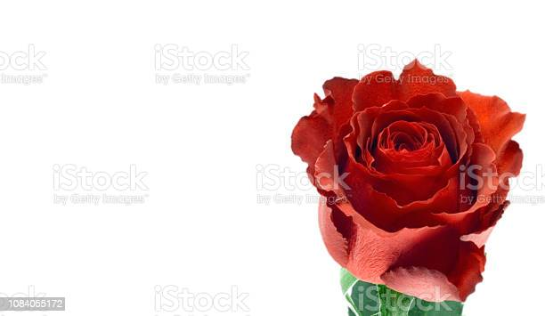 Red rose isolated picture id1084055172?b=1&k=6&m=1084055172&s=612x612&h=1jm66q4 xxvx0mo30mmlemr6q7sr2futcfxyir0m1lq=