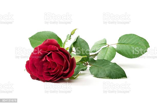Red rose isolated picture id504131676?b=1&k=6&m=504131676&s=612x612&h=wtu1 uininp8abc3ukdqcvdi73rh9v8gbjdzzohuhfg=