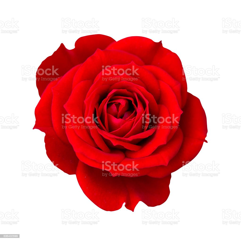 Red rose isolated with clipping path stock photo