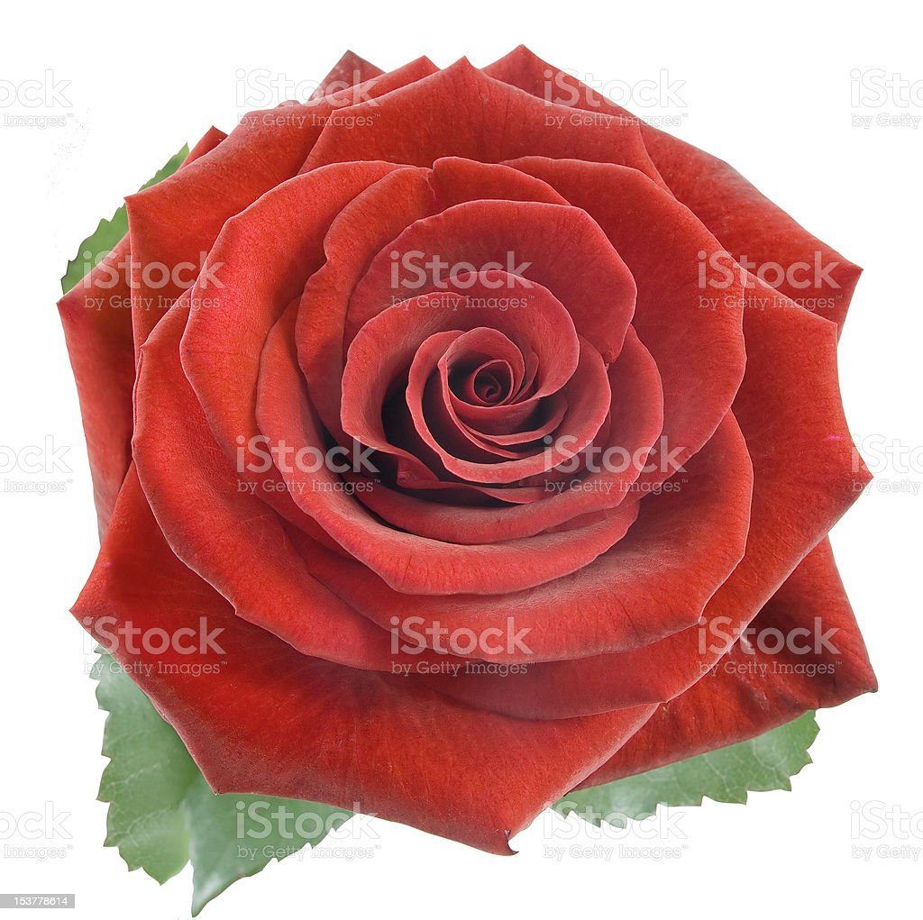 Red rose isplated on the white background royalty-free stock photo
