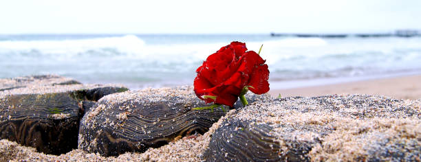 red rose lonely flower at beach, water background, copy space, burial at sea. Funeral flower symbol and Covid-19 Condolence card concept. Outbreak of corona virus pandemic disease. panoramic view stock photo