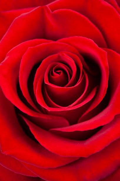 Red rose macro as a background picture id1124270817?b=1&k=6&m=1124270817&s=612x612&w=0&h=obpdf14zcpzkb3b6d7hyojaz3nvbg2 vgel7kduld04=