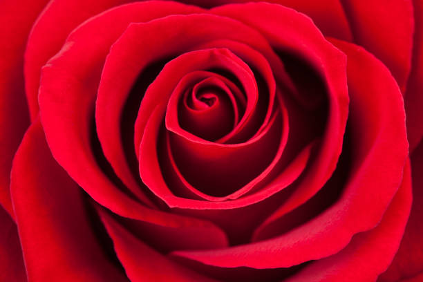 Top 60 Red Roses Stock Photos Pictures And Images Istock
