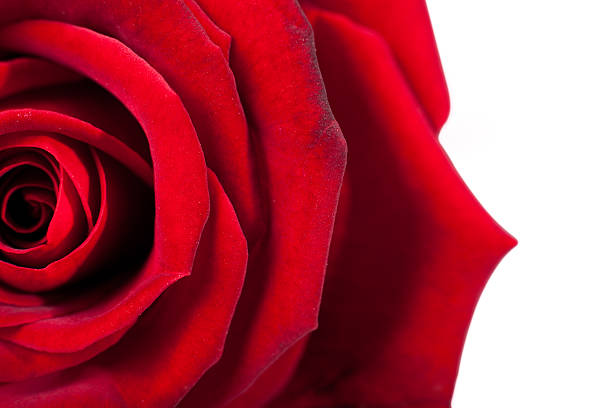 Red rose macro. Closeup of petals. Twisted red color – zdjęcie