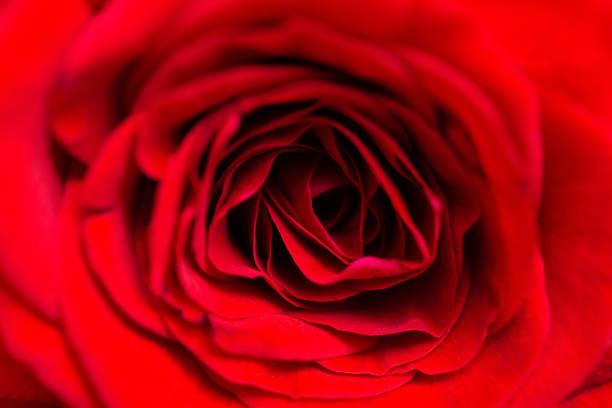 Red rose macro picture id1017275882?b=1&k=6&m=1017275882&s=612x612&w=0&h=jfy un40vnk2wukqyr vqmh4wewg ieu1h 5lbiy1me=