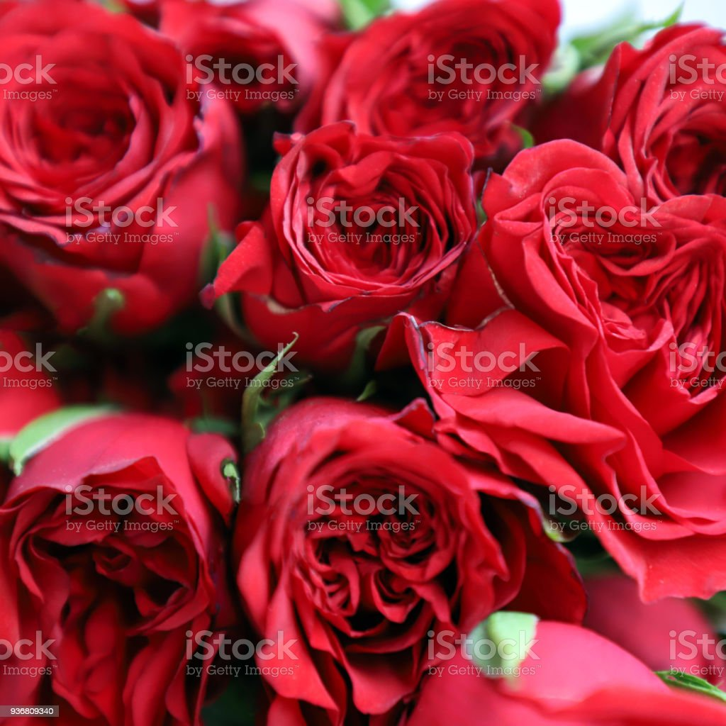 Red Rose Multipurpose Background For Anniversary Wedding Birthday Or