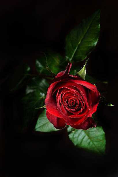 Red rose on a black background in a studio picture id515596134?b=1&k=6&m=515596134&s=612x612&w=0&h=ghhyzsaa t7bl92nf ri9lxtownz58p 8sxhjs qeug=