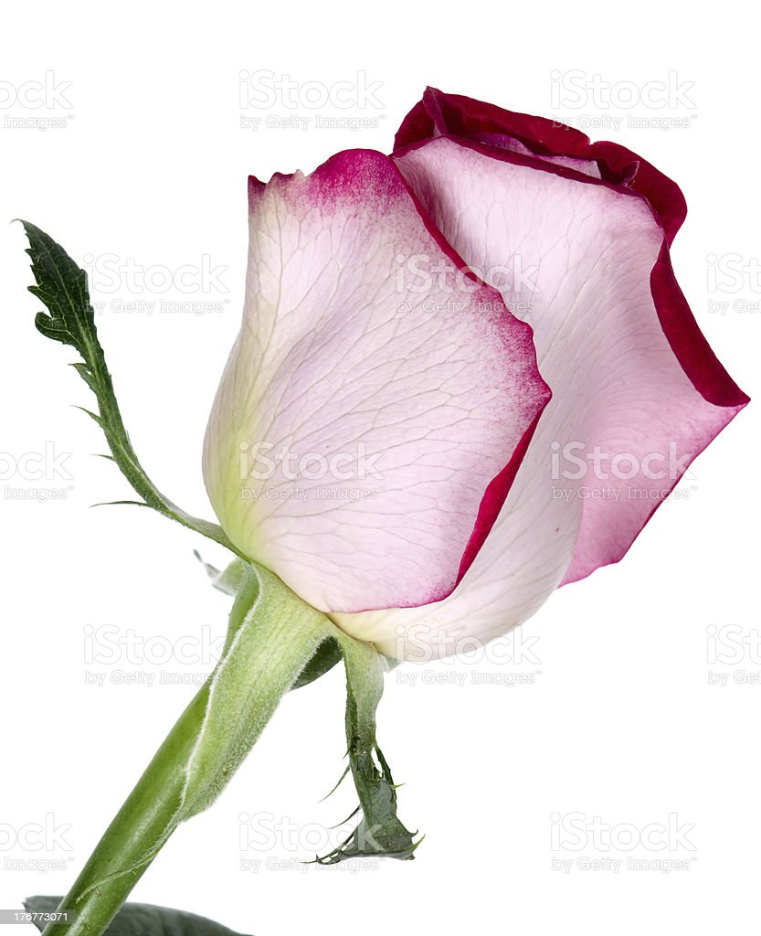red rose on a white background royalty-free stock photo