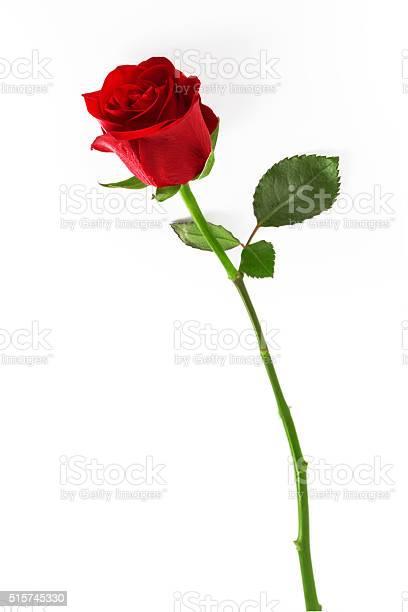 Red rose on a white background picture id515745330?b=1&k=6&m=515745330&s=612x612&h=sdb4vlnfcupmp8urkjl86dylolx0g ki lrzodfs13q=