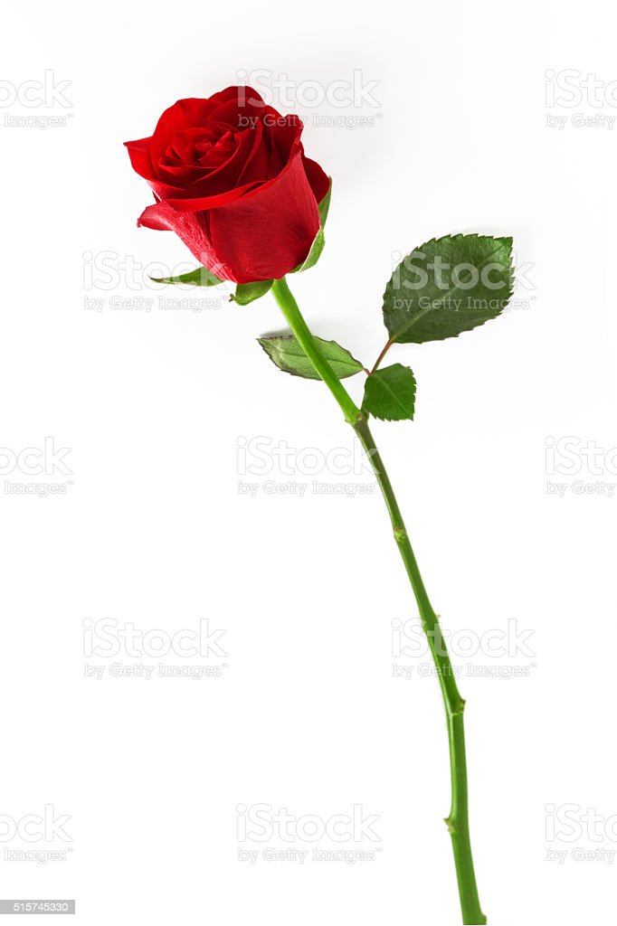 Red rose  on a white background. stock photo