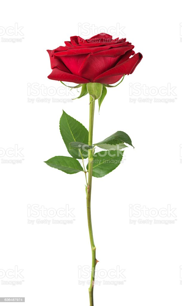 Red rose on a white background stock photo