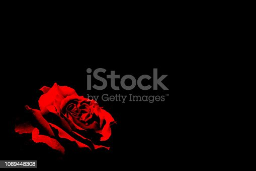 An image of a red rose emerging in the dark