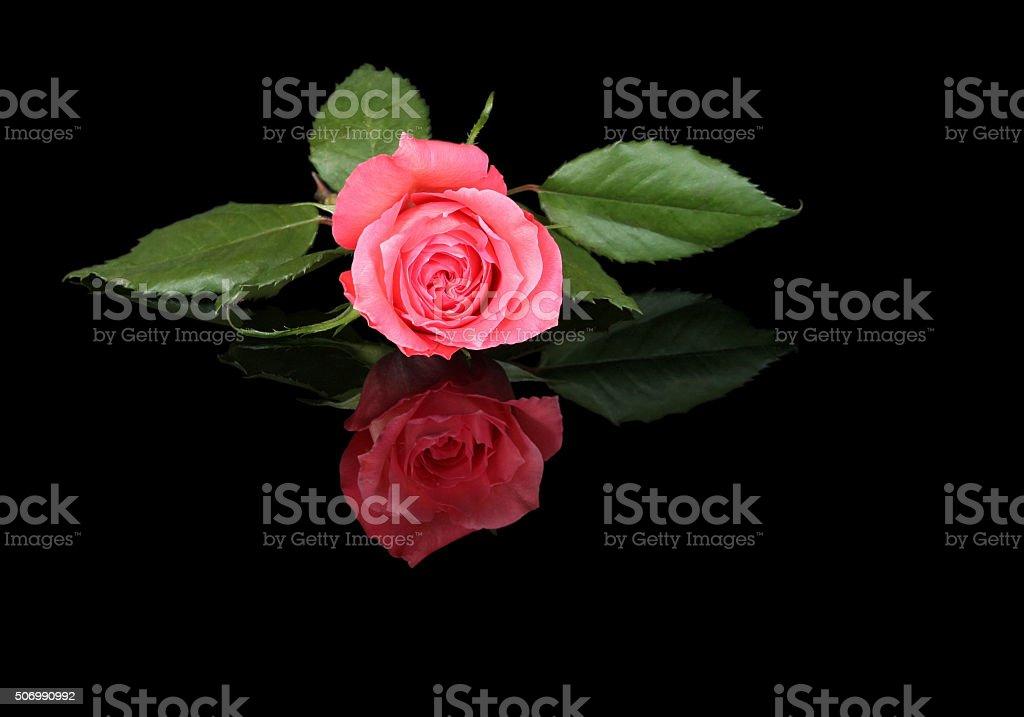 Rosa Rossa Su Sfondo Nero Fotografie Stock E Altre Immagini Di
