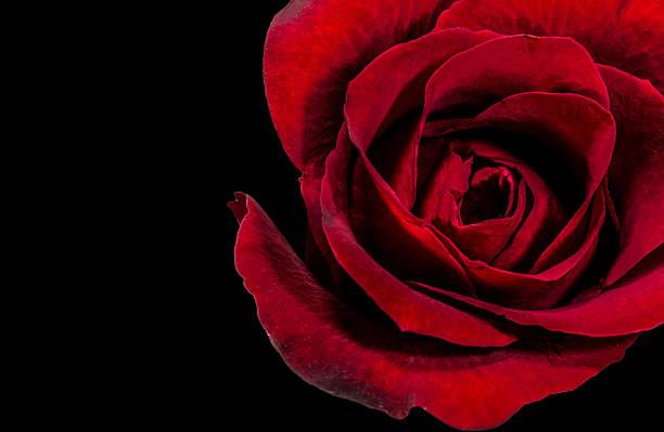 Red rose on black background picture id622972444?b=1&k=6&m=622972444&s=612x612&w=0&h=mu9r33ahywdol xzxbbatuevkcau3fameap1wnfq8rm=