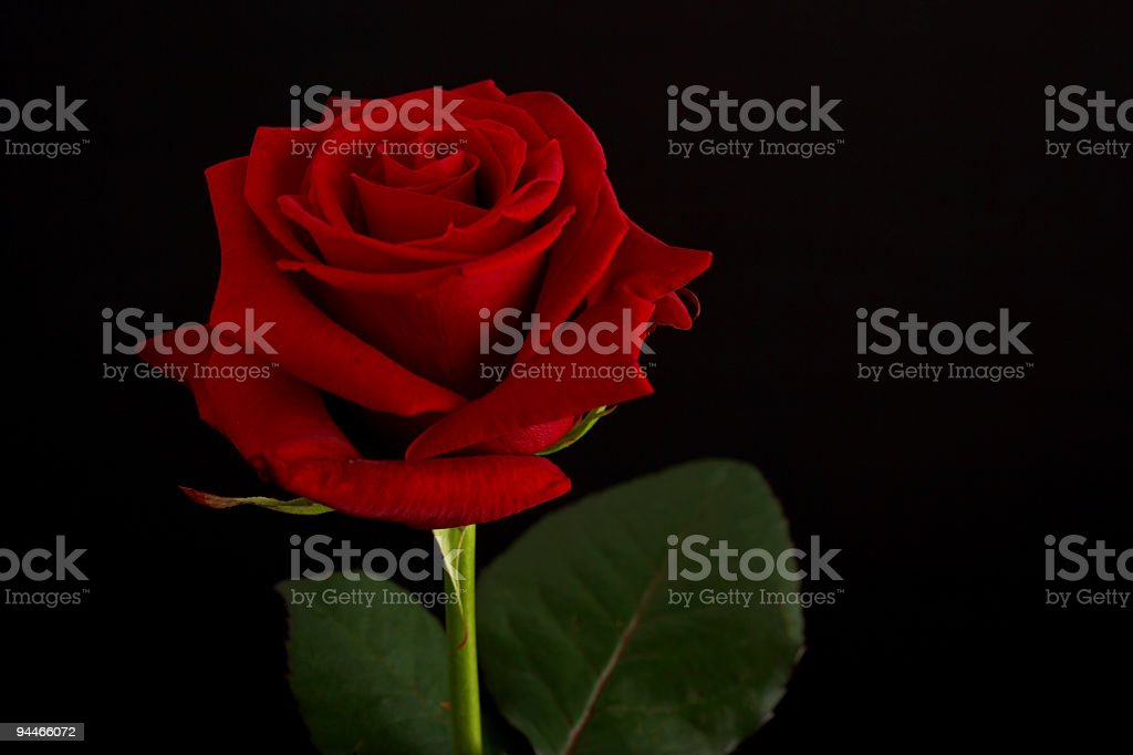 red rose on black royalty-free stock photo