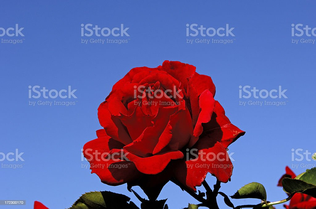 Red Rose on Blue stock photo