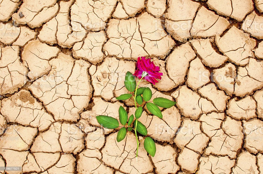 Red rose on cracked ground royalty-free stock photo