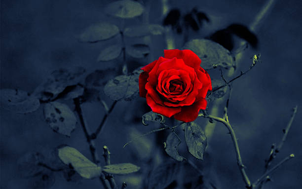 red rose on dark background - sharp stock photos and pictures