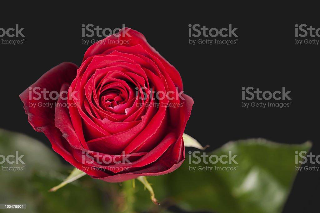 Red rose on dark royalty-free stock photo
