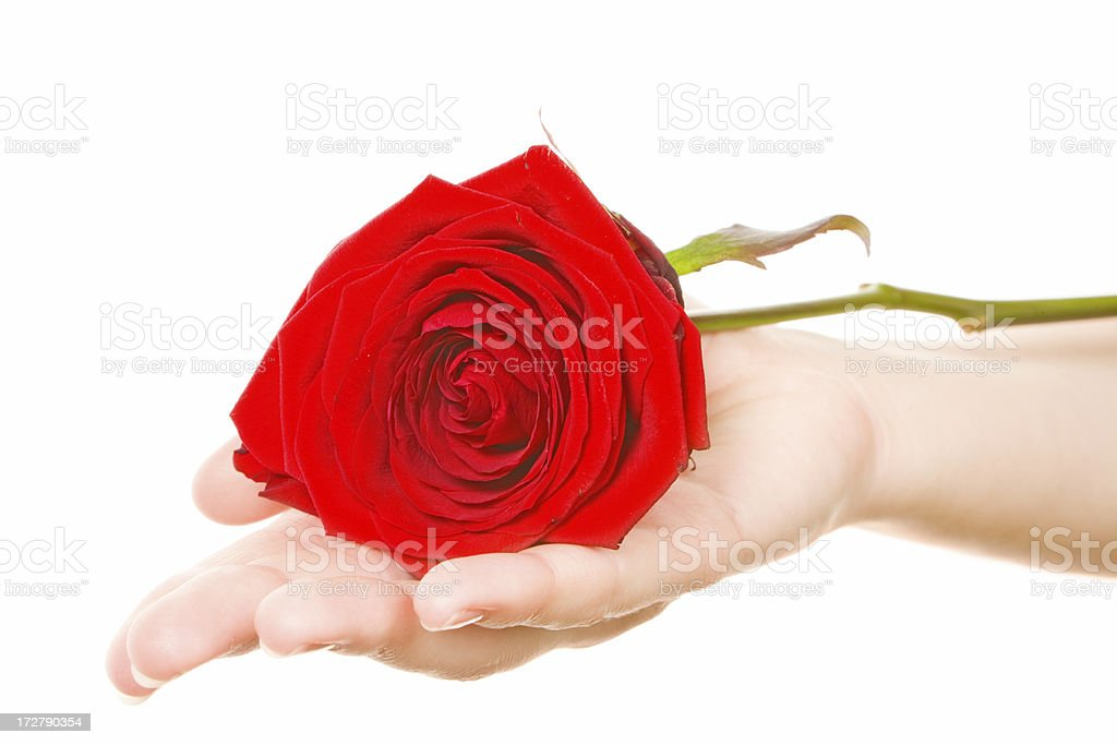 red rose on girl's palm stock photo