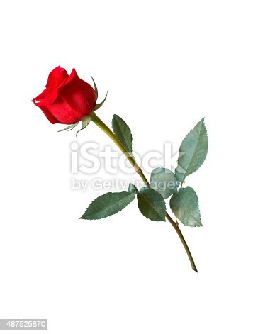 Beautiful red rose on isolated background