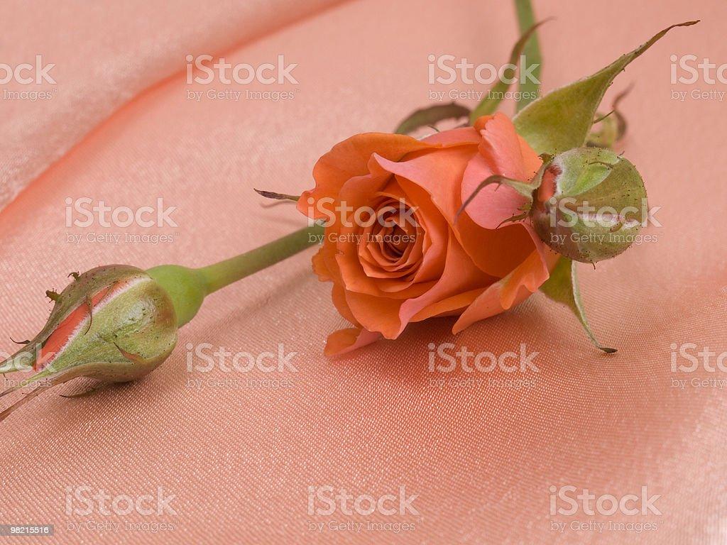 Rosa rossa in seta rosa foto stock royalty-free